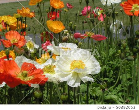 綺麗なアイスランドポピーの白とオレンジ色の花 50392053