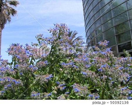 満開の下を向いた青い花はホリジ 50392136