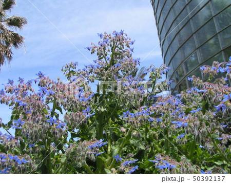 満開の下を向いた青い花はホリジ 50392137