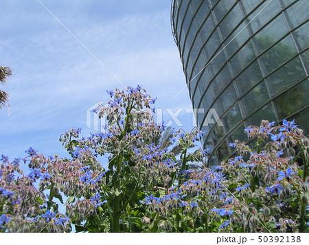 満開の下を向いた青い花はホリジ 50392138