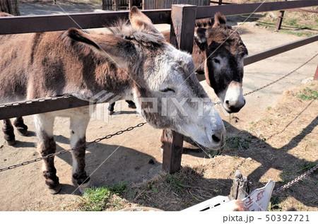 動物園のロバ、群馬サファリパーク 50392721
