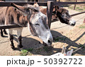 動物園のロバ、群馬サファリパーク 50392722