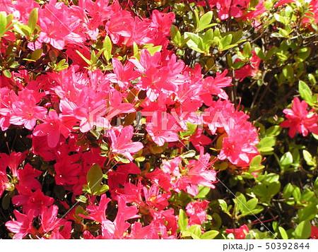 ツツジの桃色の花 50392844