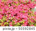 ツツジの桃色の花 50392845