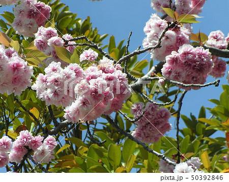 八重の桜は遅咲きのサクラ 50392846