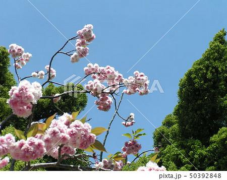 八重の桜は遅咲きのサクラ 50392848