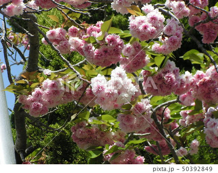 八重の桜は遅咲きのサクラ 50392849