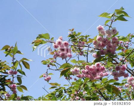 八重の桜は遅咲きのサクラ 50392850