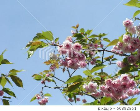 八重の桜は遅咲きのサクラ 50392851
