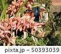 シンビジュームの大きめな桃色の花 50393039