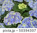 形原温泉・紫陽花 50394307