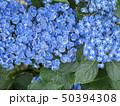 形原温泉・紫陽花 50394308