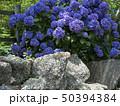 紫陽花 50394384