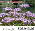 紫陽花 50394386