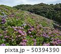 紫陽花 50394390