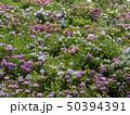 紫陽花 50394391