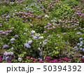 紫陽花 50394392