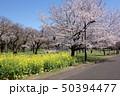 小金井公園の桜(西口の桜の園) 50394477