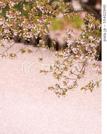 ソメイヨシノと花いかだ 春のイメージ 50402940