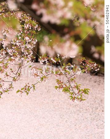 ソメイヨシノと花いかだ 春のイメージ 50402941