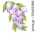 wisteria19504pix7 50405986