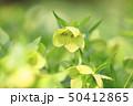 クリスマスローズ 花 キンポウゲ科の写真 50412865