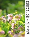 クリスマスローズ 花 キンポウゲ科の写真 50412892