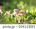クリスマスローズ 花 キンポウゲ科の写真 50412893