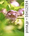 クリスマスローズ 花 キンポウゲ科の写真 50412934
