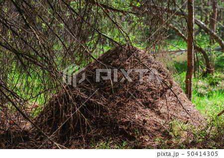 Big anthill in forest. House for ants  50414305