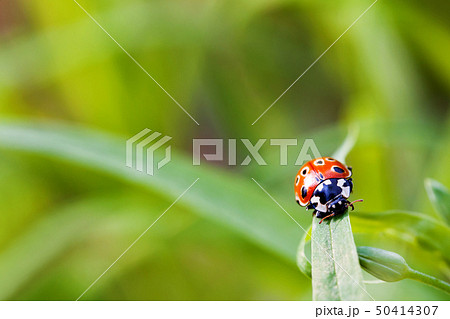 Ladybug sitting on grass. Colorful insect on leaf 50414307