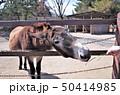 動物園のロバに餌をあげる、群馬サファリパーク 50414985