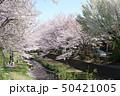 野川の桜(鞍尾根橋から西之橋方向) 50421005