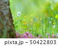 たんぽぽ 春の訪れ 50422803