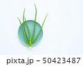リュウゼツラン 竜舌蘭 アロエの写真 50423487