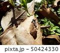 虫の死骸に群がるアリたち 50424330