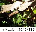 虫の死骸に群がるアリたち 50424333