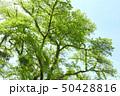 木 大木 新緑の写真 50428816