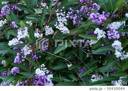 小町藤 ハーデンベルギア 花言葉は「奇跡的な再会」 50430084