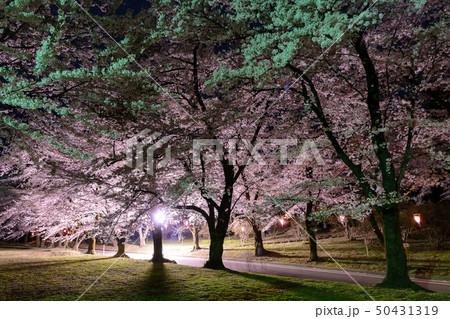 赤城南面千本桜のライトアップ 50431319