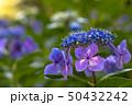 紫陽花 花 紫の写真 50432242