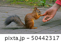 Woman feeds squirrel in the park 50442317