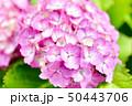 紫陽花 50443706