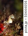 ピグミーシーホース  Hippocampus pontohi 50444056
