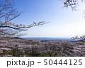 加護坊山 千本桜 宮城県 大崎市 桜 春 50444125
