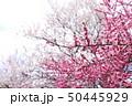 いなべ梅林公園 梅まつり 50445929