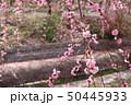 いなべ梅林公園 梅まつり 50445933