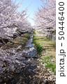 野川の桜(西之橋方向) 50446400