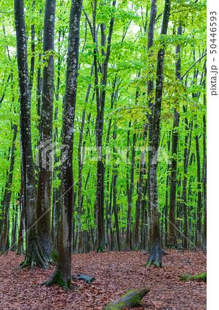 新緑の木立 50446593