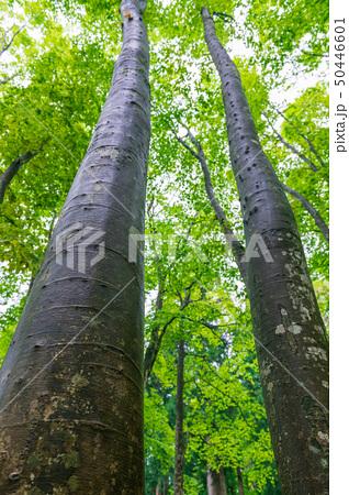 新緑のブナの木々 50446601